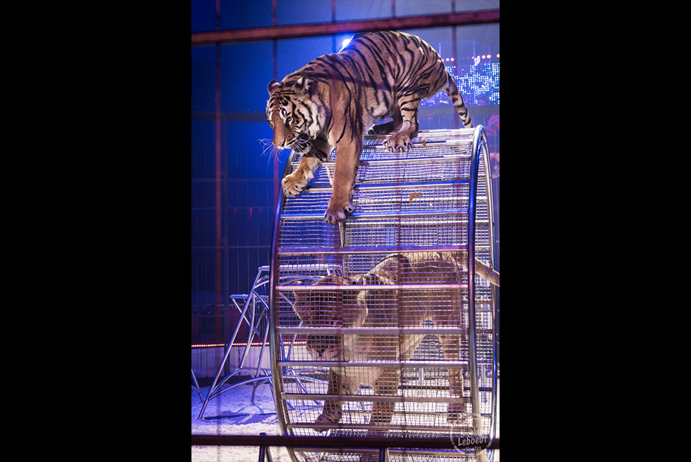 Cirque Bouglione Surprise Tigre